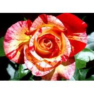 Роза Camille Pissarro (Камиль Писарро)