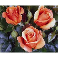 Роза Cherry Brandy (Черри Бренди)