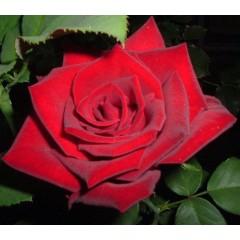 Роза El Toro (Ель Торо)
