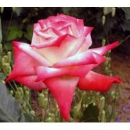 Роза Imperatrice Farah (Императрис Фараг)