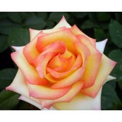 Роза Konfetti (Конфетти)