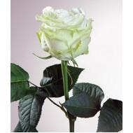 Роза Maroussia (Маруся)