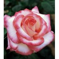 Роза Rose Guayard (Роуз Гуаярд)