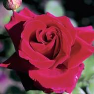 Роза Temptetion (Темптейшн)