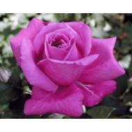 Роза Violette Parfume (Виолет Парфум)