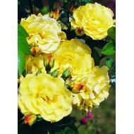 Роза L.K.Lucia (Л.К. Люсиа)
