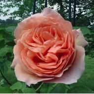 Роза Polka (Полка)