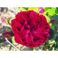 Роза Red Eden (Ред Иден)