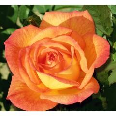 Роза Sahara (Сахара)