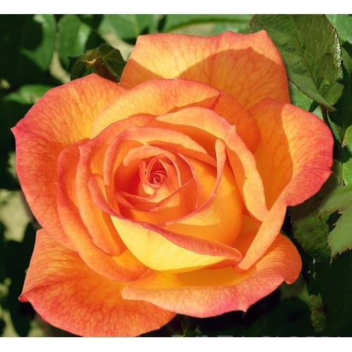 Роза сахара описание и фото отзывы