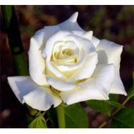 Роза White Swan (Уайт Свон)
