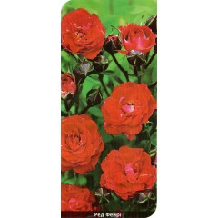 Роза Red Fairy (Ред Фейри)