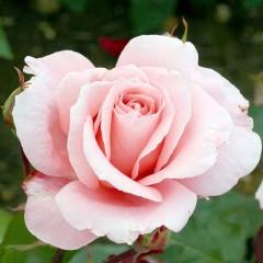 Роза Dance Queen (Данс Куин)
