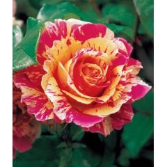 Роза Claude Monet (Клод Моне)