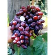 Виноград Изюминка