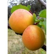 Саженец абрикоса сорт Ананасный