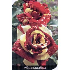 Роза Abrakadabra (Абракадабра)
