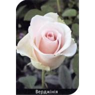 Роза Verginia (Верджиния)