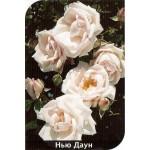 Роза New dawn (Нью Даун)
