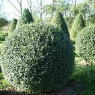 Бирючина (Ligustrum vulgaris)