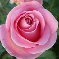 Роза Beauty (Бьюти)