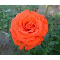 Роза Angelique (Анжелика)