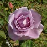 Роза Climbing Blue Moon (Плетистий Блю Мун)