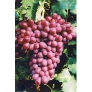 Саженец винограда сорт Шоколадный