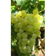Саженец винограда сорт Мускат Жемчужный