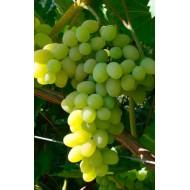 Саженец винограда сорт Плевен