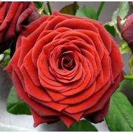 Роза Red Naomi (Ред Наоми)