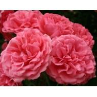 Роза Rosarium Uetersen (Розариум Уетерсен)