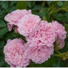Роза The Fairy (Фейри)