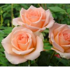 Роза Versilya (Версилия)