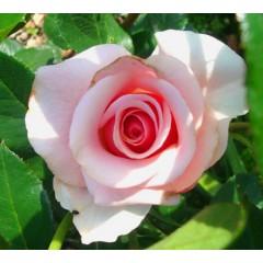 Роза Vivaldi (Вивалди)
