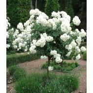 Роза штамбовая White Fairy (Уайт Фейри) /50-60 см/