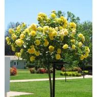 Роза штамбовая Yellow Fairy (Еллоу Фейри) /50-60 см/