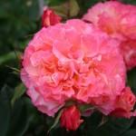 Роза Augusta Luis (Августа Луиза)