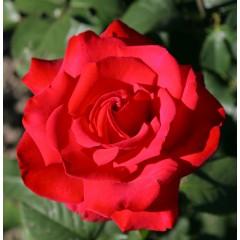 Роза Grande Amore (Гранд Аморе)