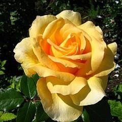 Роза Casanova (Казанова)