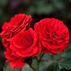 Роза Cordula (Кордула)