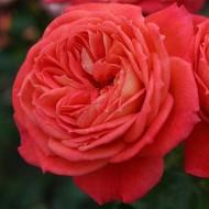 Роза Queen of Hearts (Куин оф Хертс)
