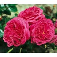 Роза Laguna (Лагуна)