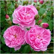 Роза Merlin (Мерлин)