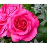 Роза Parole (Пароле)