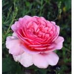 Роза Pink Musimara (Пинк Мушимара)