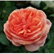 Роза Chippendale (Чипендейл)