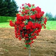Роза штамбовая Red Fairy (Ред Фейри) /50-60 см/