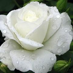 Роза Pascali (Паскали)