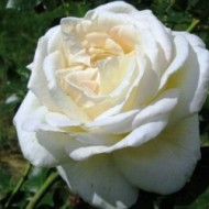 Роза Schneewalzer (Шнивальцер)
